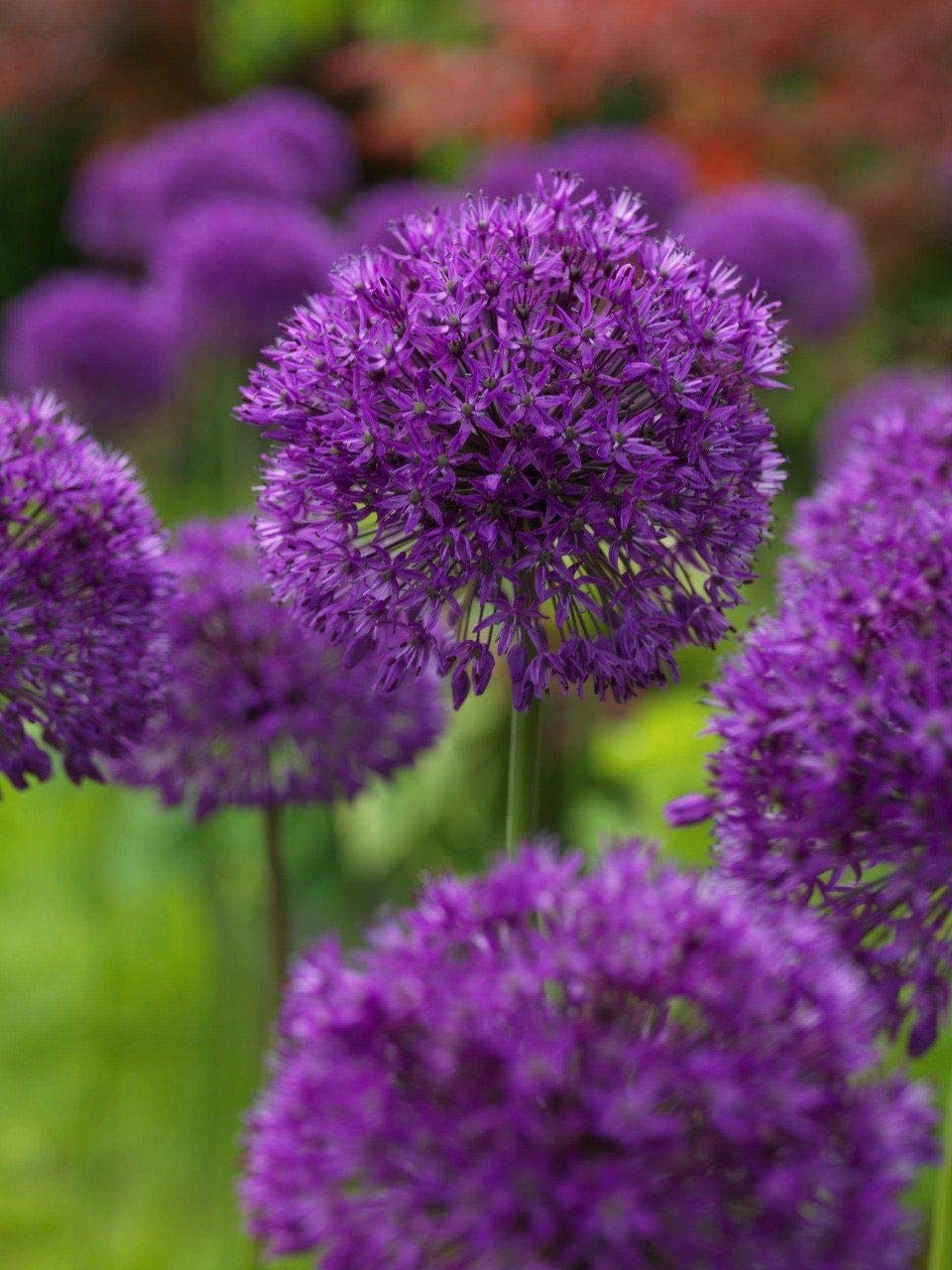 10 Dark Purple Allium Bulbs Blooming Onion Flowering Perennial Garden Flower by SVI