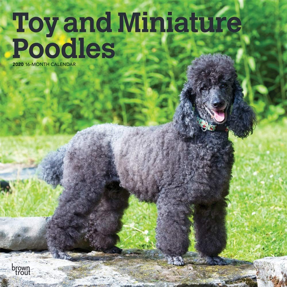 Toy And Miniature Poodles 2020 12 X 12 Inch Monthly Square