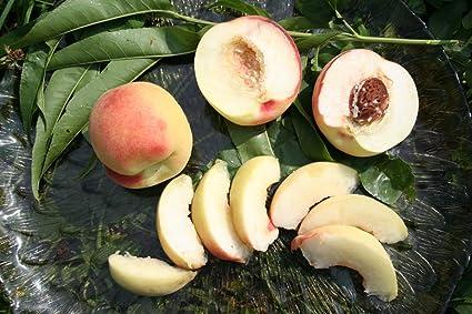 Pfirsich Benedicte - starke Pflanze am Bambusstab (Spalier