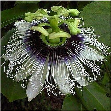 méthode BIO jardins fleurs fruits 15 Graines de Grenadille