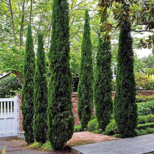 italian-cypress-tree-cupressus-2-feet-tall-full-gallon-pot
