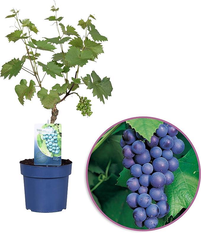 Planta de fruta de Botanicly – vid de uva común nero – Altura: 65 cm – Vitis vinifera Nero: Amazon.es: Jardín