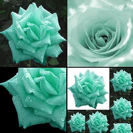 ZHOUBA 100Pcs Mint Green Rose Seeds Butterflies Love Garden Flower Rare Plant Seeds