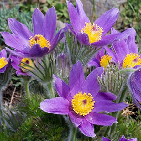 NEW PURE WHITE ANEMONE  PULSATILLA PASQUE FLOWER SEEDS PERENNIAL 20