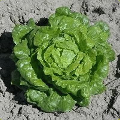 500 Organic Tom Thumb Leaf Lettuce Seeds : Garden & Outdoor
