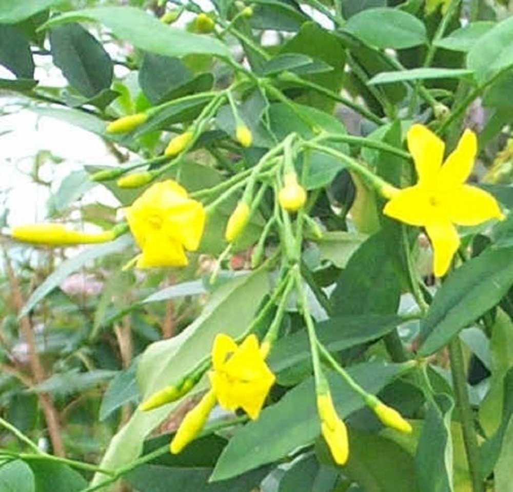 Jasminum revolutum italian yellow jasmine 2 3ft supplied in a 3 jasminum revolutum italian yellow jasmine 2 3ft supplied in a 3 litre pot amazon garden outdoors izmirmasajfo