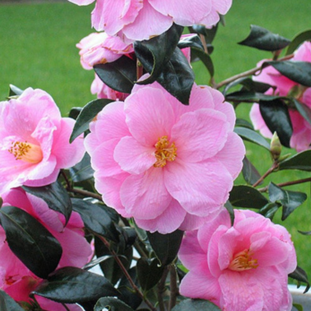 1 X CAMELLIA WILLIAMSII 'DONATION' BUSHY EVERGREEN SHRUB HARDY PLANT IN POT Gardener's Dream