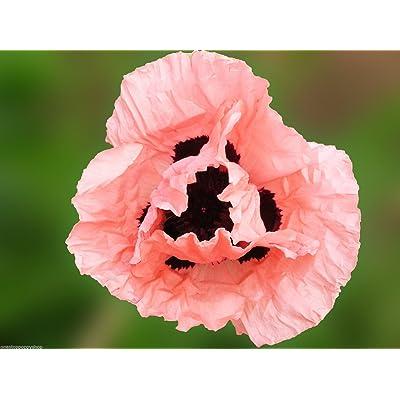 200 Oriental Poppy Flower Seeds. Princess Victoria Louise Papaver Oriental : Garden & Outdoor