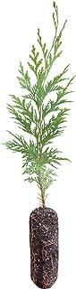 product image for Port Orford Cedar   Medium Tree Seedling   The Jonsteen Company