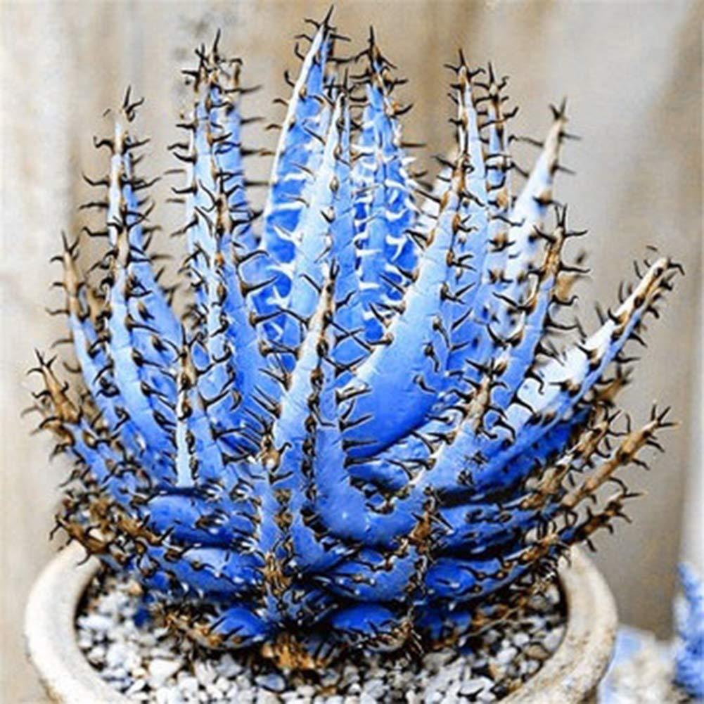 Decoration Blue Aloe Vera Seeds Holiday Celebration Catkoo Seed,100Pcs Rare Aloe Vera Seeds Succulent Anti-Radiation Home Garden Bonsai Plant Suitable Kitchen Living Room Decoration