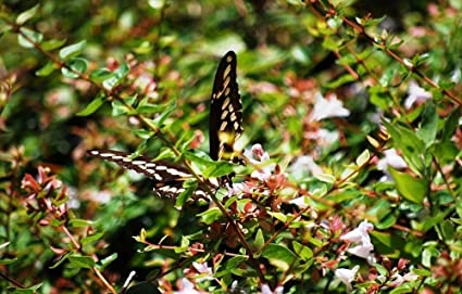Abelia Edward Goucher Qty 30 Live Plants Flowering Butterfly Plant