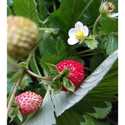 300 Wild Woodland Strawberry Seeds Plants Ground Cover Fast Spread Perennial Fresh Beauty : Garden & Outdoor