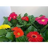 GERBERA - Pack 6 Plantas -Margarita africana - Flores de Jardín - Planta Viva - VIPAR GARDEN 26