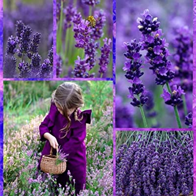 20pcs/Bag Lavender Seeds Outdoor Pot Bonsai Beautiful Vera Herb Flower Seeds Home Garden : Garden & Outdoor