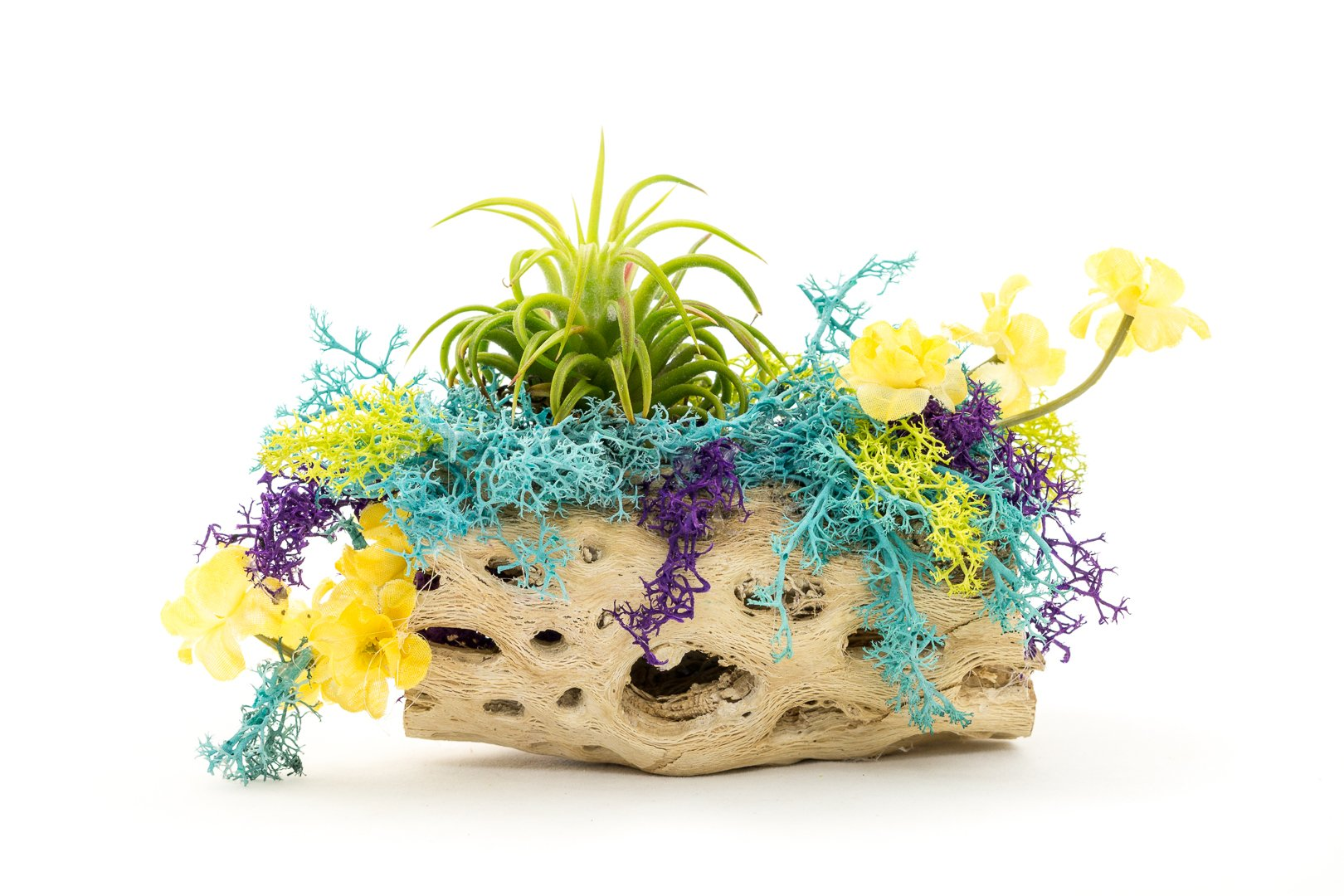 "Air Plant Cholla Wood Kit | Moss in Bloom Cholla Wood | DIY Beginner Gift Set | 4"" Cholla Wood 