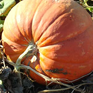 Pumpkin Garden Seeds - Baby Max Pumpkins - 1 oz (Treated) Seed - Heirloom, Non-GMO - Pinkish Orange Pumpkin Variety - Vegetable Gardening Seed