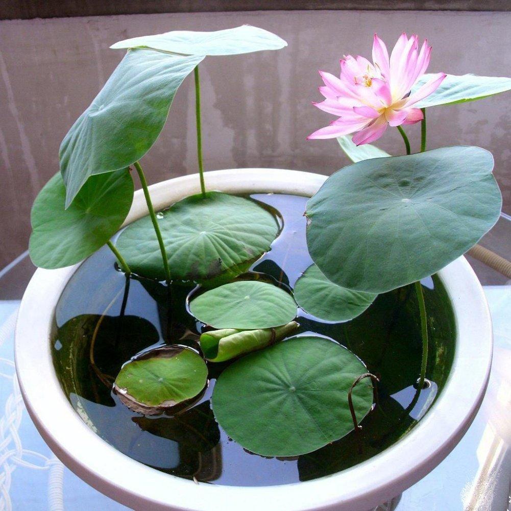 Amazon Loveble Lotus Seeds Bowl Lotus Hydroponic Plants