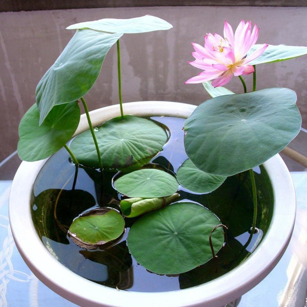 Loveble Lotus Seeds Bowl Lotus Hydroponic Plants Aquatic Plants Flower Pot Water Lily