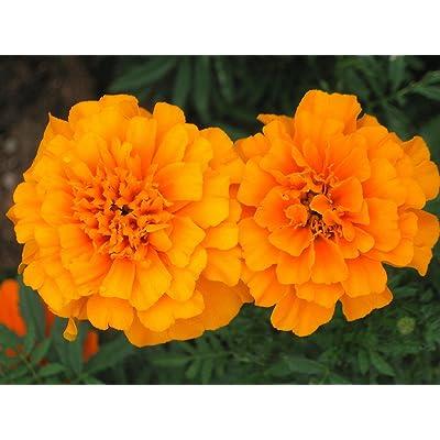 500 Orange Marigold Seeds, French Marigolds, Bulk Marigold Seed, Heirloom Seed 500ct : Garden & Outdoor