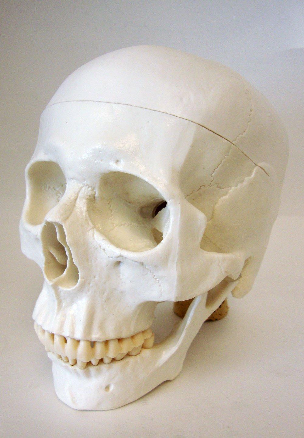 Life Size Model Human Skull Anatomical Model MHB MD11