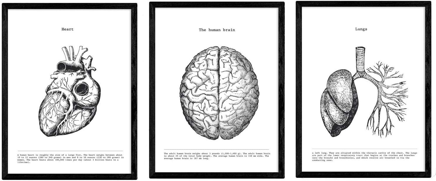 Pack de Posters de anatomía. Corazon Cerebro pulmones. Cuerpo Humano. Anatomia Láminas con Partes del Cuerpo Humano. Tamaño A4