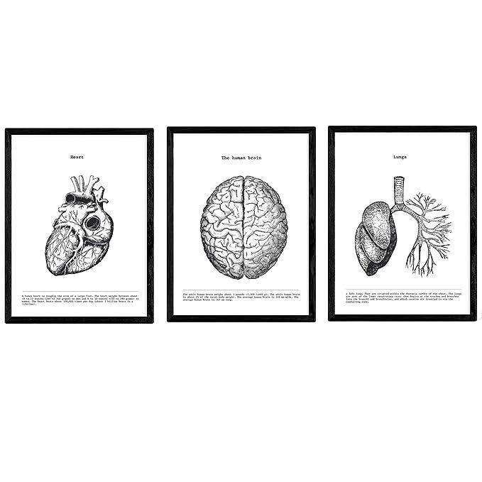 Pack de Posters de anatomía. Corazon Cerebro pulmones. Cuerpo Humano. Anatomia Láminas con Partes del Cuerpo Humano. Tamaño A3