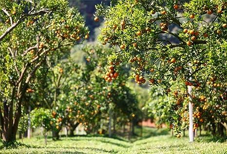 Amazon.com : AOFOTO 10x7ft Fresh Orange Orchard Background Autumn ...