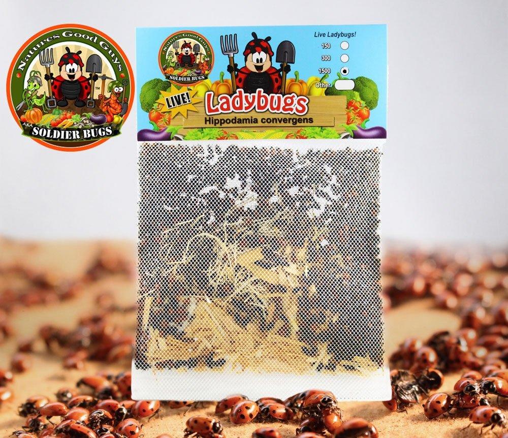amazon com 1500 live ladybugs good bugs ladybugs