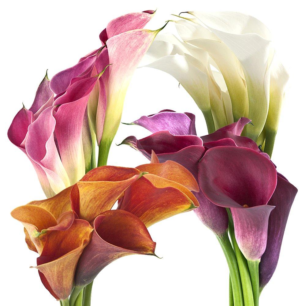 Wholesale Mini Calla Lilies (60 Assorted)
