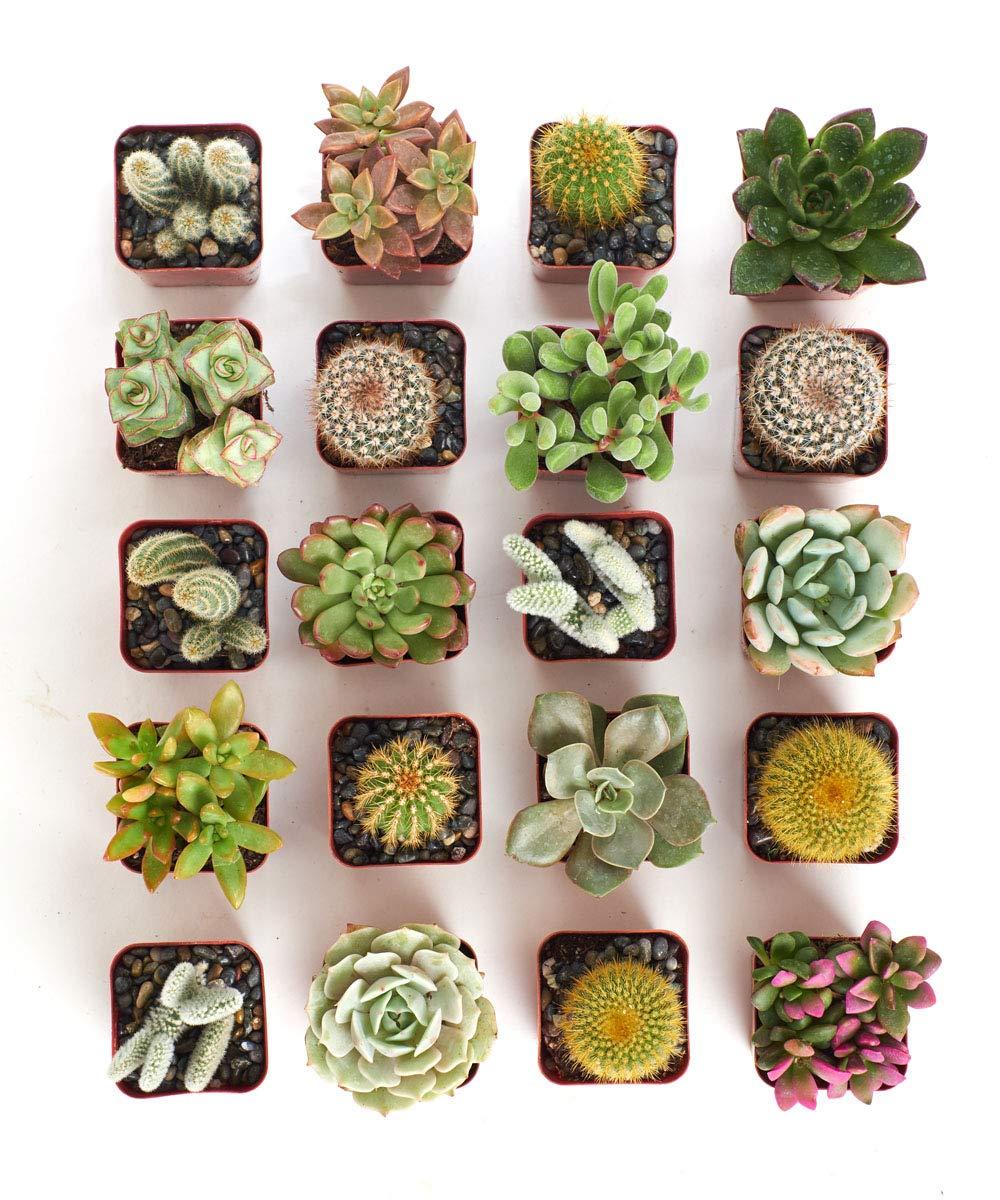 Shop Succulents | Cactus & Succulent Collection of Live Succulent Plants, Hand Selected Variety Pack of Cacti and Mini Succulents | Collection of 20 by Shop Succulents (Image #4)
