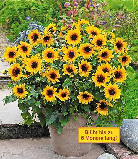foto de Cioler Seed House - Graines de tournesol jaunes Protecteur d'écran ...