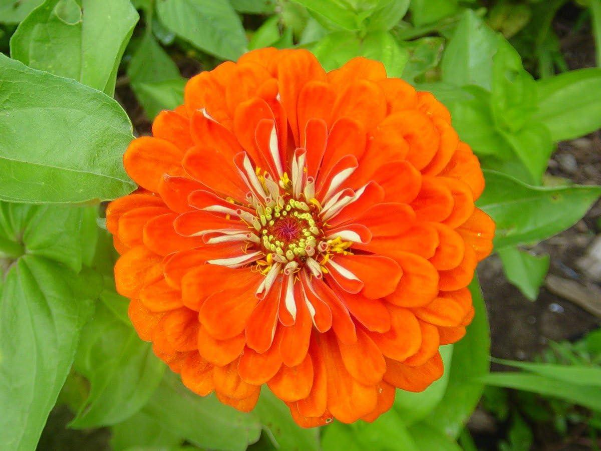 Dahlia-Flowered Common Zinnia Orange King Seeds