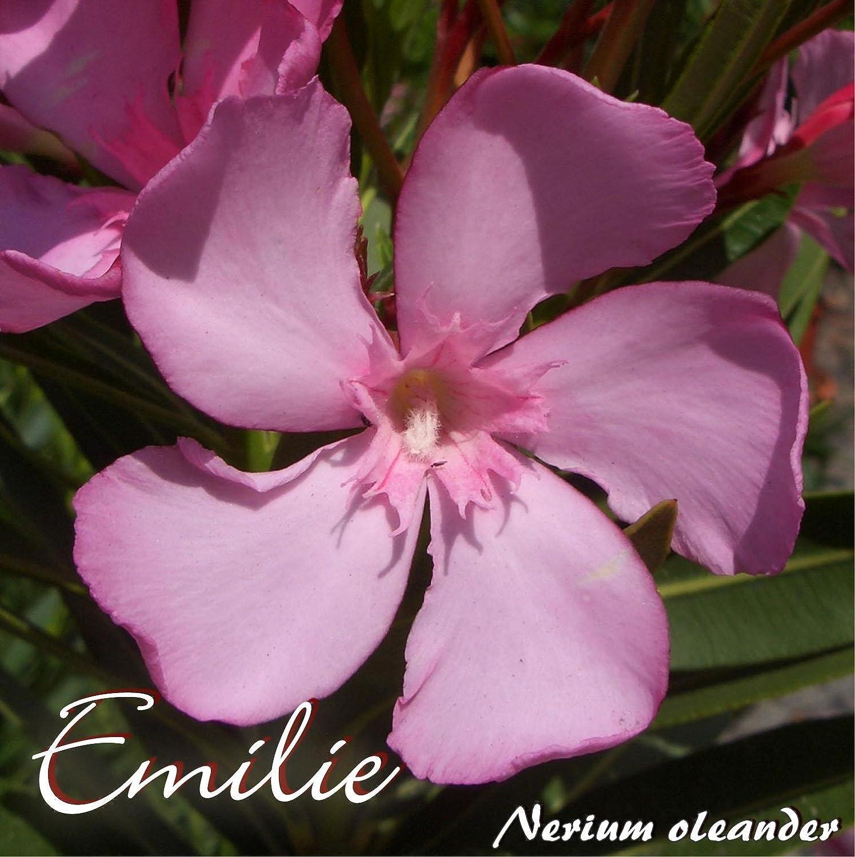 Oleander 'Emilie' - Nerium oleander, Größe:im 33 cm Kübel