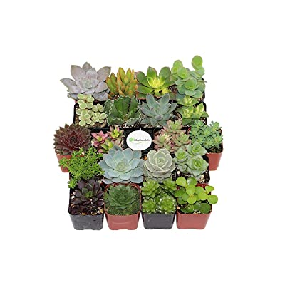 Plant Fully Rooted Succulents Unique Succulent Collection of 20 2 Inch Pots Soil : Garden & Outdoor