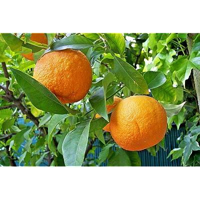 10 Myrtle Leaf Orange Seeds - Citrus aurantium 'Chinotto' : Garden & Outdoor