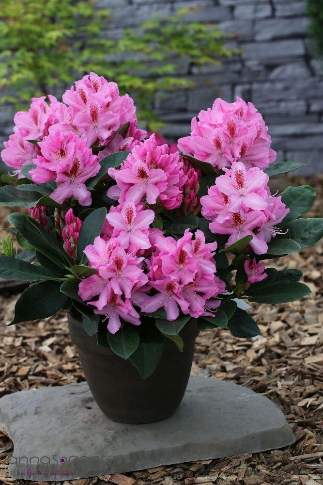 Rhododendron `Furnivall´s Daughter´ - INKARHO® -Pflanze Größe 60-70 cm Pflanzenhöhe
