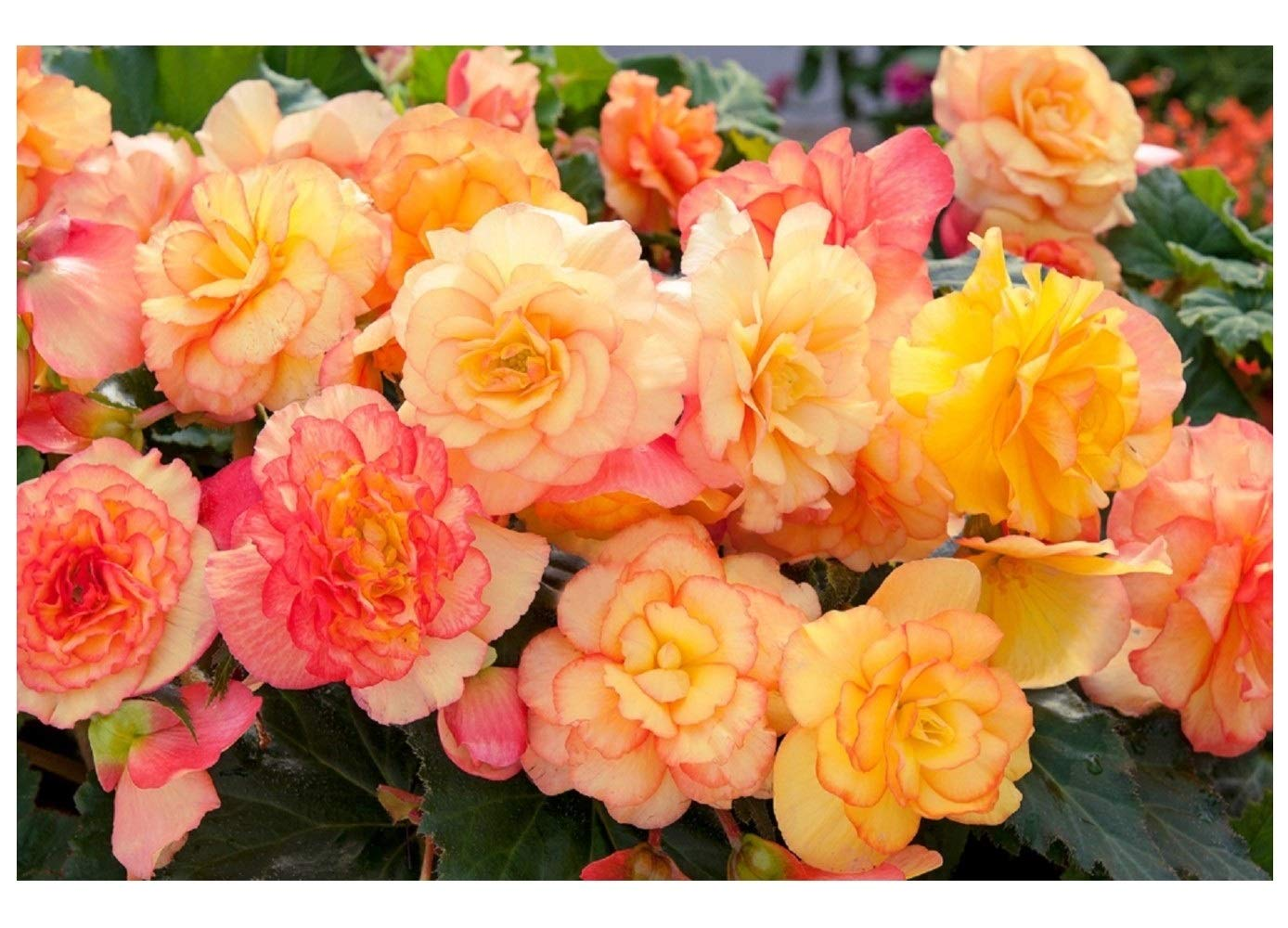 Begonia Seeds Nonstop Mocca Yellow 15 Pelleted Seeds