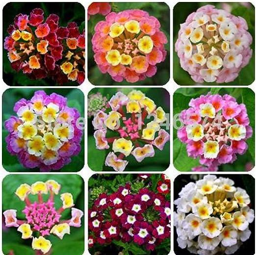 KCmart 20 PC/bag, semillas de Lantana, de semillas en macetas, semillas de flores, jardín de su casa: Amazon.es: Jardín