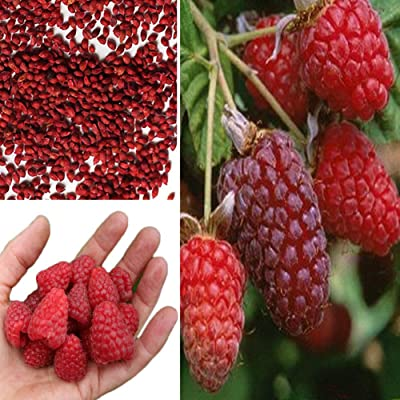 scgtpapadc Red Raspberry Seeds, 300Pcs Delicious Red Raspberry Bush Fruit Seeds Sweet Juicy Garden Yard Plant, Flower Seeds Plant Seeds Red Raspberry Seeds : Garden & Outdoor