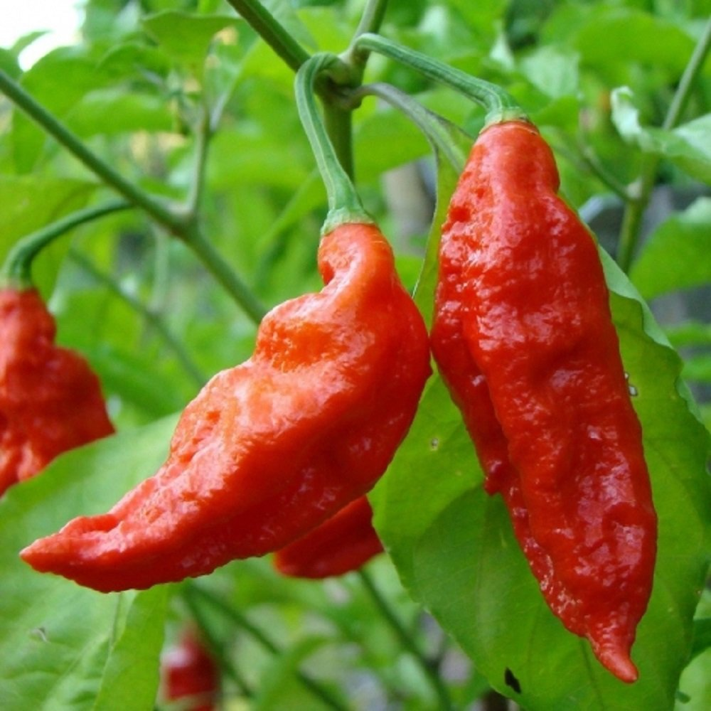 10 Bhut Jolokia Ghost Pepper Seeds - Red Organic Hot Chili Vegetable by Hill Creek Seeds