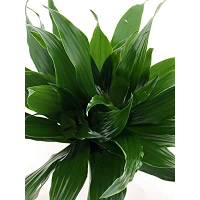AchmadAnam Janet Craig Dragon Tree LAIVE Plant Dracaena Fragrans Houseplant Indoo : Garden & Outdoor