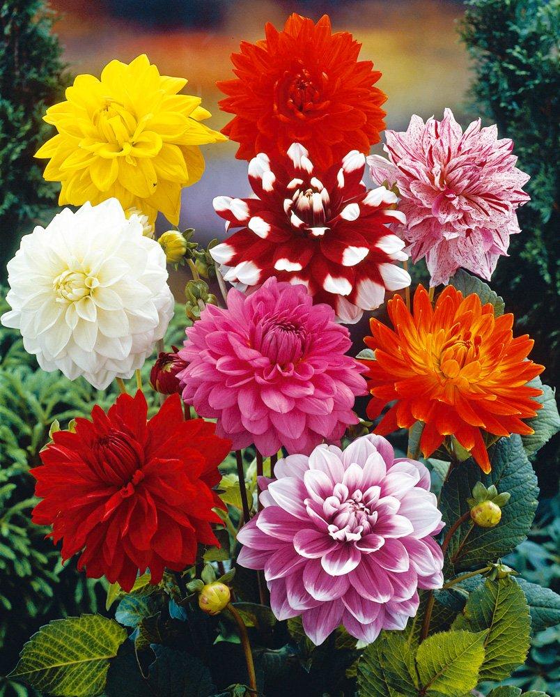 Van Zyverden Dahlias - Decorative Mixed - Set of 7 Bulbs by VAN ZYVERDEN (Image #1)