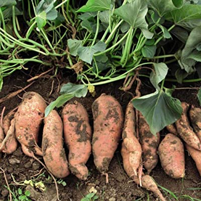 Onbay1 Seed-Potato Seeds, 100Pcs Organic Plants Vegetables Grain Sweet Potato Seeds Vegetables : Garden & Outdoor