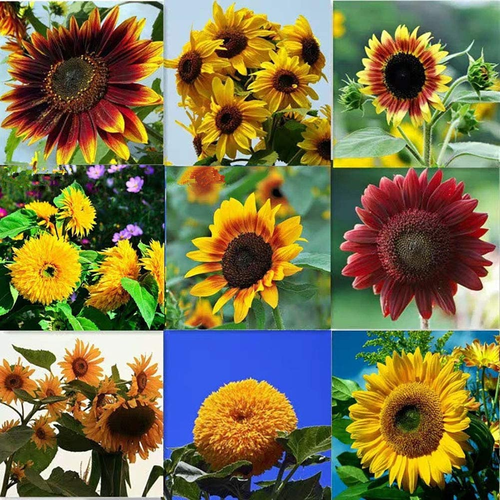 QEBIDVL 1000pcs Mixed Sunflower Seeds for Garden Planting- 10 Varieties of Sunflower Seeds