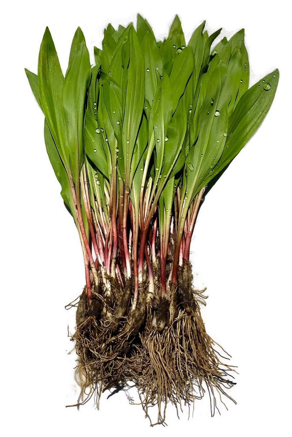 40 FRESH Wild Ramps / Leeks for cooking or replanting by The Wild Leek (Image #2)