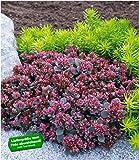 "BALDUR-Garten Sedum Sun Sparkler""Sedoro Blue Elf"", 2 Pflanzen winterhart Fetthenne Garten Fettblatt"