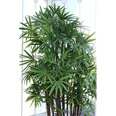 20 Seeds Houseplant Windmill Palm Tree Shrub Broadleaf Lady Rhapis Excelsa Tree Seeds for Planting #RR01 : Garden & Outdoor