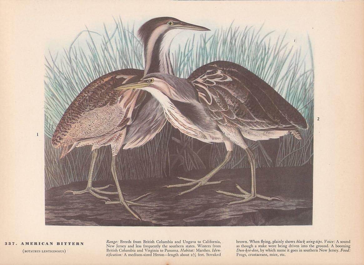"""1942 Vintage AUDUBON BIRDS #337 /""""AMERICAN BITTERN/"""" Color Art Plate Lithograph"""