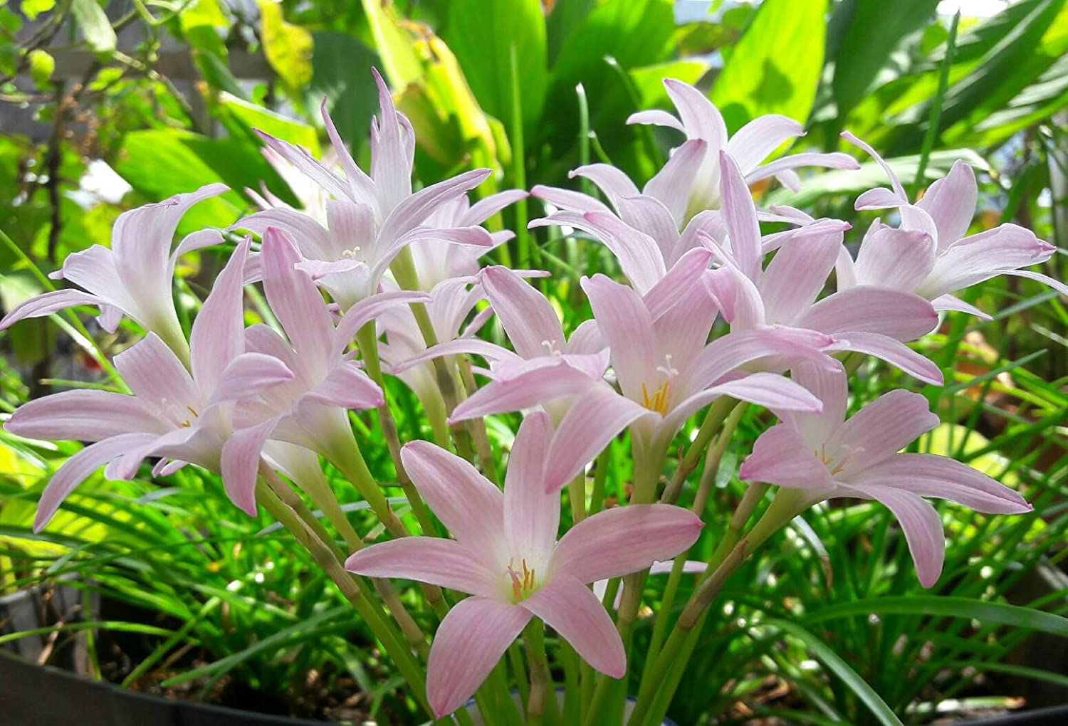 Amazon Rain Lily Bulb Zephyranthes First Love Magic Lily