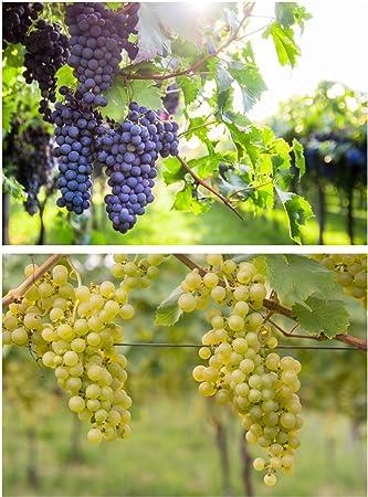Beliebt Bevorzugt Weintrauben Pflanzen Regent und Phoenix Vitis Weinrebe winterhart @KI_59